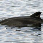 harbour-porpoise-charlie-phillips-wdc