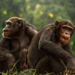 Showiest male primates may have smallest testicles